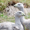 Cape Barren Geese on Maria Island off Tasmania. They wander around the island as if they own it and you can't walk two feet around the settlement on the island without stepping on their poo.