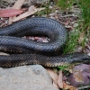 Snake along the Moroka River in Victoria's Alpine National Park. I like snakes. They are cool!